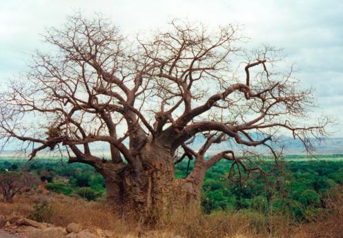 baobab_001