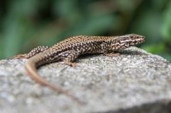 Lizard on the watch