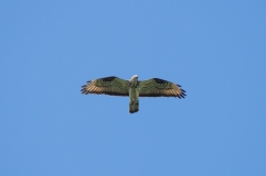 Buzzard scanning the surface
