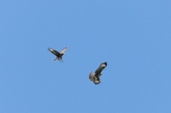 Buzzard playing high in the sky