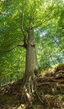 A majestic giant in the woods around Brussels