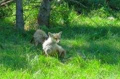 Oost canada wildlife-22