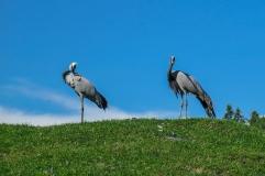 Oost canada wildlife-23
