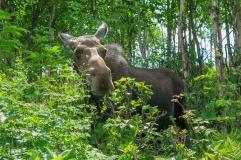 Oost canada wildlife-9
