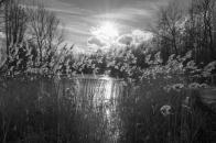 Rietpluimen in de winterzon