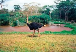 struisvogel_001