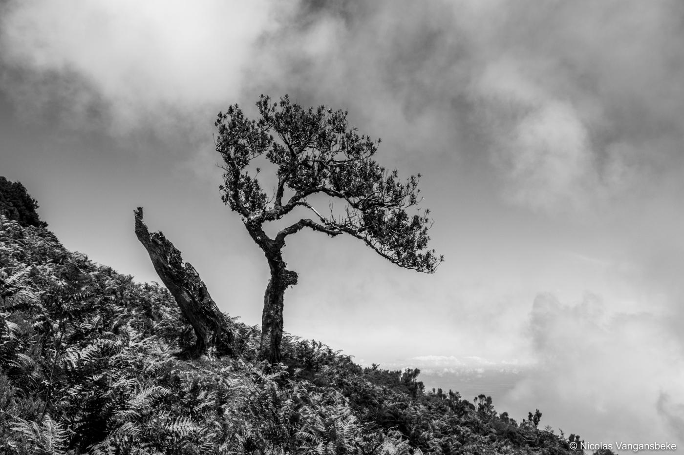 Kunstige bomen in Madeira, Laurierbossen te Fanal