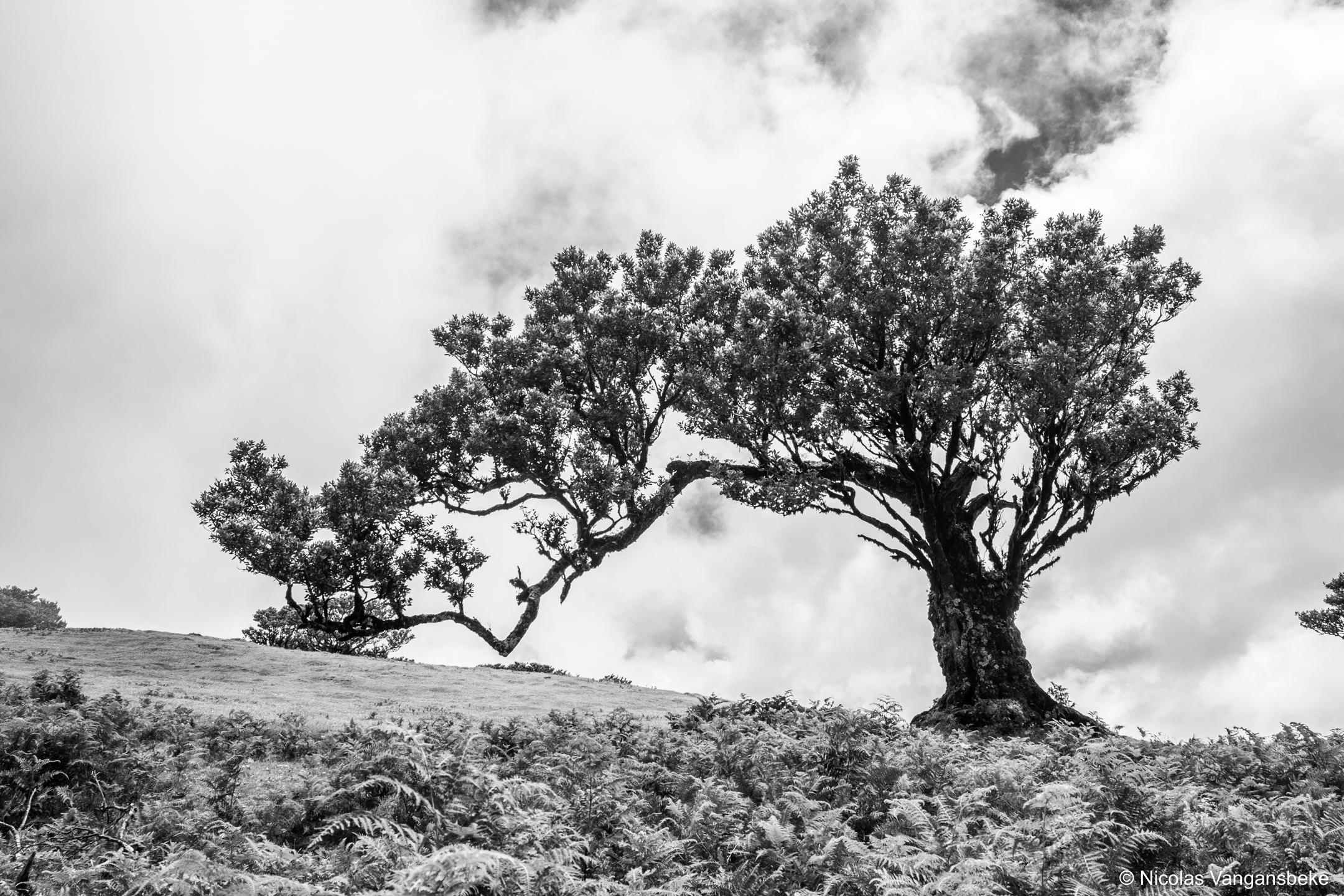 Kunstige bomen in Madeira, Laurierwoud te Fanal